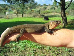 Gran Canaria Giant Lizard Gallotia stehlini