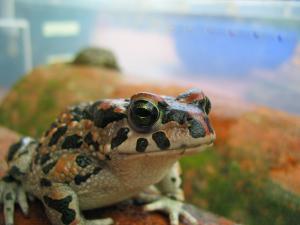 Green Toad Bufo viridis