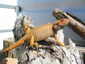 Bearded Dragon sandfire