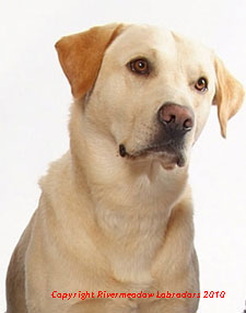 Ash (Yellow Labrador) headshot
