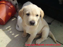 Blypark Babycham - a yellow puppy sired by River Mountain Ash