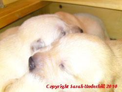 Ash puppies