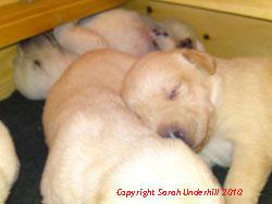 Yellow Ash Puppies