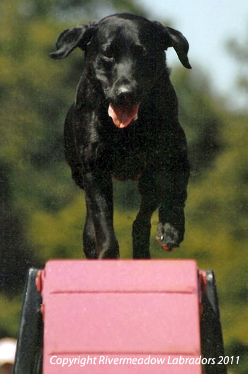 Fife doing Agility aged 7