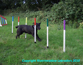 Oak on the Agility course