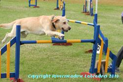 River Mountain Ash doing agility:  Yellow stud dog