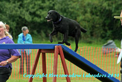 River Meadow Oak running up the ramp on an agility course