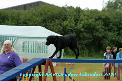 River Meadow Oak on the agility course - proven black stud dog 0/0 hips