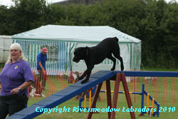 River Meadow moving down the ramp on an agility course
