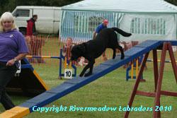 Rivermeadow Oak doing agility: Black stud dog 0/0 hips