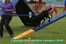 River Meadow Oak doing agility:  Black stud dog 0/0 hips