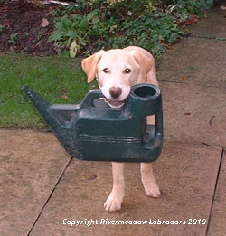 Rivermountain Ash:  Ash (yellow labrador) holding a watering can in his mouth
