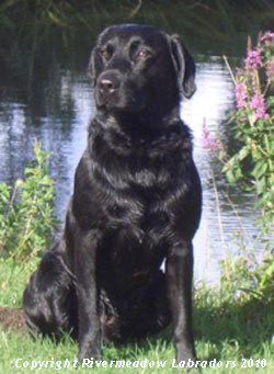 River Meadow Oak, a black labrador stud dog producing 5th generation progeny of 0/0 hips